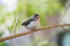 Juvenile Common Tailorbird. Perched on a stem royalty free stock photos