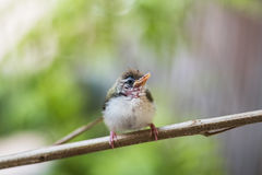 Juvenile Common Tailorbird. Perched on a stem royalty free stock image