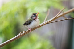 Juvenile Common Tailorbird. Perched on a stem royalty free stock photo