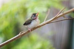 Juvenile Common Tailorbird Royalty Free Stock Photo