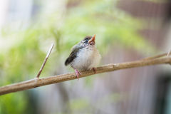 Juvenile Common Tailorbird. Perched on a stem stock images