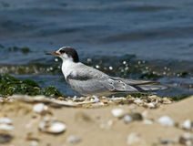 Juvenile Common Tern on Beach Stock Photo