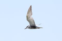 Juvenile common tern  flying over the sky Stock Photos