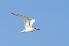 Juvenile common tern, sterna hirundo Stock Photos