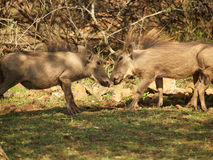 Juvenile common warthog Royalty Free Stock Images