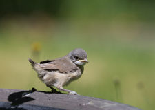 Juvenile Common Whitethroat close-up Royalty Free Stock Images