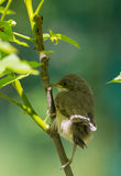 Juvenile Common Whitethroat close-up Stock Photography