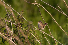 Juvenile Common Whitethroat Sylvia Communis perched on branch Royalty Free Stock Photo