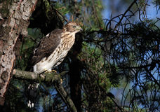 Juvenile Cooper's hawk Royalty Free Stock Image