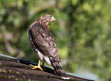 Juvenile Cooper's hawk Royalty Free Stock Images