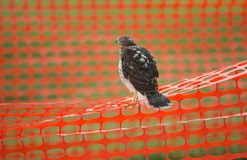 Juvenile cooper's hawk on construction fence Royalty Free Stock Image