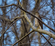 Juvenile Cooper`s Hawk Royalty Free Stock Images