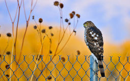 Juvenile Coopers Hawk Royalty Free Stock Image