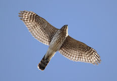 Juvenile Coopers Hawk In Flight. Juvenile Female Coopers Hawk (Accipiter cooperii) flying against a blue sky Royalty Free Stock Images
