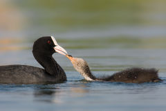 Juvenile Coot Royalty Free Stock Images