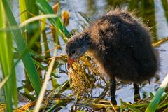 Juvenile coot bird in the water Royalty Free Stock Photos