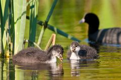 Juvenile coot birds swiming in the water Stock Images