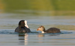 Juvenile coot Stock Photography