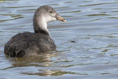 A juvenile coot on the Ornamental Pond royalty free stock photography