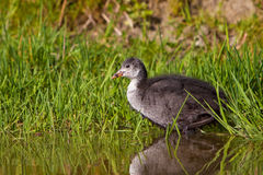 Juvenile coot in spring time in the water Stock Photo