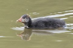 A juvenile coot on the Ornamental Pond,  Southampton Common Stock Photos