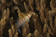 A juvenile coral hawkfish Cirrhitichthys falco among coral branches. Malapascua, Philippines stock photo