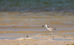 Juvenile Crab-Plover at the beach Royalty Free Stock Images