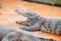 Juvenile crocodile with gaping jaws Stock Photos