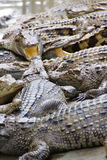 Juvenile crocodile with gaping jaws Royalty Free Stock Photography