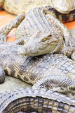 Juvenile crocodiles at rest Stock Photography