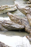 Juvenile crocodiles at rest Royalty Free Stock Images
