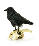Juvenile Crow on goat skull Royalty Free Stock Images