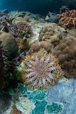 Juvenile Crown of Thorns Starfish. A juvenile Crown of Thorns starfish, Acanthaster planci, feeds on corals in Raja Ampat. This tropical region is known as the Stock Photos