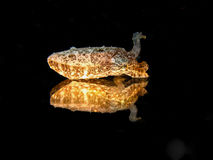 Juvenile Cuttlefish reflection royalty free stock image