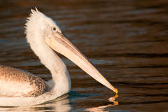 Juvenile Dalmatian Pelican Portrait on water Stock Image