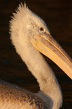 Juvenile Dalmatian Pelican Portrait on water Stock Images