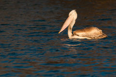 Juvenile Dalmatian Pelican on Water Royalty Free Stock Photos