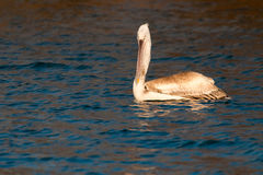 Juvenile Dalmatian Pelican on Water Royalty Free Stock Image