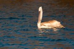 Juvenile Dalmatian Pelican on Water Royalty Free Stock Image