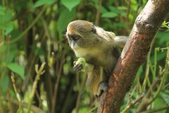 De Brazza monkey. Juvenile of De Brazza monkey on the tree royalty free stock photo
