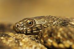 Juvenile dice snake portrait. Natrix tessellata stock photography