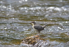 Juvenile Dipper. A Juvenile Dipper in a stream in Perthshire, Scotland, UK Royalty Free Stock Photography