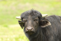 Juvenile domestic black bull portrait. Looking towards the camera  Bubalus bubalis Royalty Free Stock Image