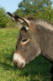 Juvenile donkey Stock Images