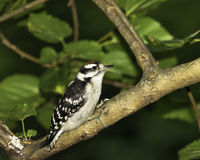 Juvenile Downy Woodpecker on tree branch Royalty Free Stock Photography