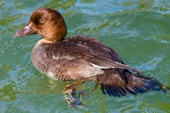 Juvenile duck hybrid Royalty Free Stock Image