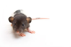 Juvenile Dumbo Fancy Rat. Hooded dumbo fancy rat on white background Royalty Free Stock Photos