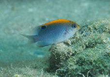 Juvenile Dusky Damselfish Stock Photos