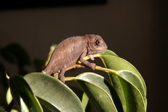 Juvenile Dwarf Chameleon Royalty Free Stock Image