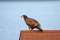 Juvenile Eagle overlooking the river Royalty Free Stock Photos